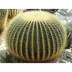"Kaktus Echinocactus grusonii"" v balení 10 semen"