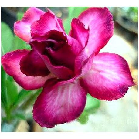 Adenium Obesum Double violet Balení 5 semen