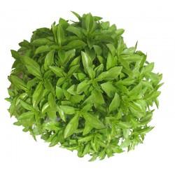 Bazalka Fino Verde Balení 200 semen