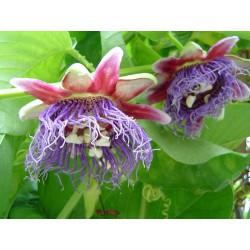 Passiflora quandrangularis v Balení 5 semen