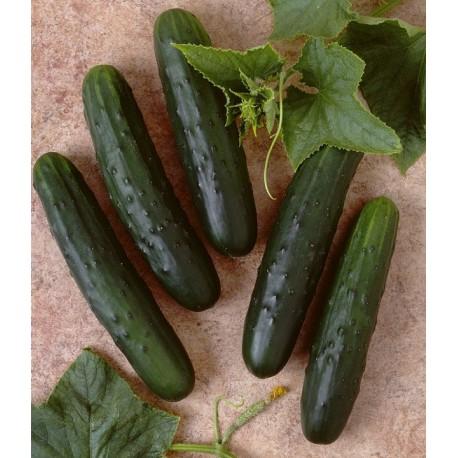 100 x semena Okurka salátová Palomar Zvýhodněná nabídka