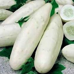 100 x semena Okurka salátová Mezzo Lungo Bianco Zvýhodněná nabídka