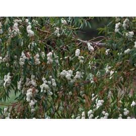 "EUCALYPTUS COCCIFERA "" Mrazuvzdorný duhový eucalyptus "" 40 SEMEN"