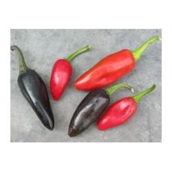 "Chilli Gold Cayene Pepper "" 10 SEMEN"