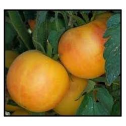 "Rajče Wapsipinicon peach "" 10 SEMEN"