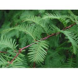 """Metasequoia Glyptostroboides """" metasekvoj čínská """" 15 SEMEN"""