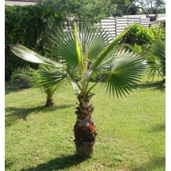 "Palma Washingtonia robusta "" 5 SEMEN v balení"