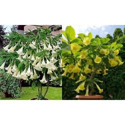 Kříženec Brugmansiab arborea x Brugmansia goldface – Andělská trumpeta Balení 8 semen
