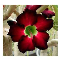 Adenium Obesum Black swan balení 5 semen
