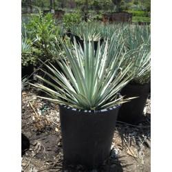 Yucca Whippleije v Balení 8 semen