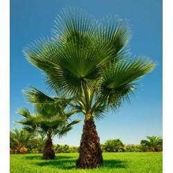 Palma Washingtonia filifera v Balení 5 semen
