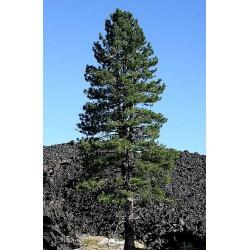 Borovice Jeffreyova - Pinus Jeffreyi v Balení 8 semen