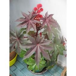 50 x semen Skočec obecný ( Ricinus communis ) Zvýhodněná nabídka