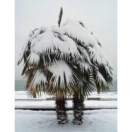 100 semen Palma Trachycarpus Fortunei Zvýhodněná nabídka