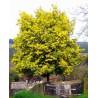 Acacia dealbata - akácie sivozelená v Balení 20 semen