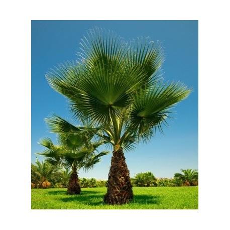 "SAZENICE "" Palma Washingtonia filifera "" 1 Sazenice v balení"