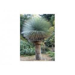 "XANTHORRHEA AUSTRALIS "" Trávový strom "" 5 SEMEN"