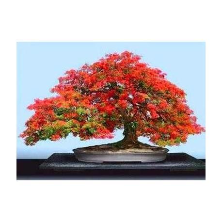 """DELONIX REGIA """" Ohňový strom """" 5 SEMEN"""
