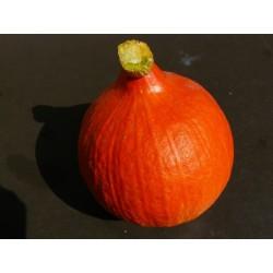 """Tykev Hokkaido Orange """" 4 SEMENA"""